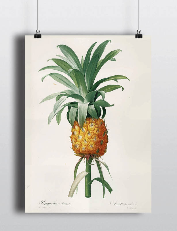 Antique Pineapple Botanical Illustration